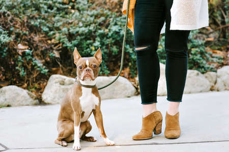 View of Boston Terrier pet dog and the bottom half of a womans body standing next to her dog outdoors Stock Photo