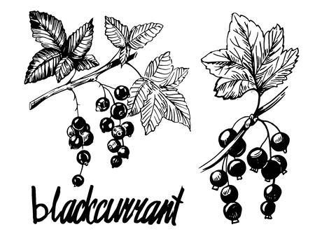 Blackcurrant sketch