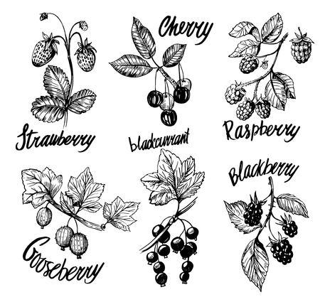 Berries sketch Illusztráció