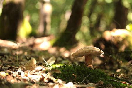 flap: flap mushroom in an oak wood Stock Photo