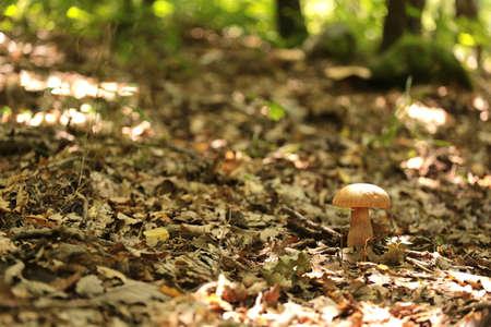 flap: Flap mushroom in an Oak Forest
