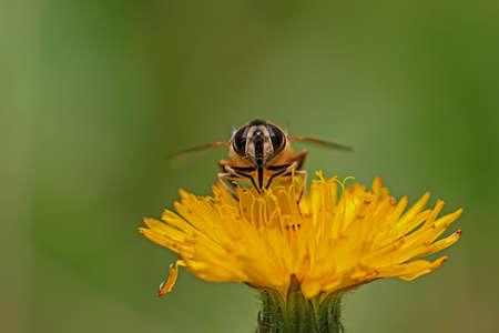 Honey bee perching on a dandelion flower
