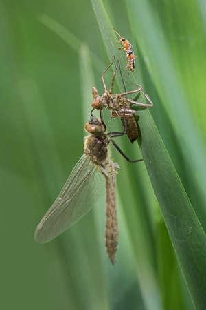 Metamorphosis of a dragonfly