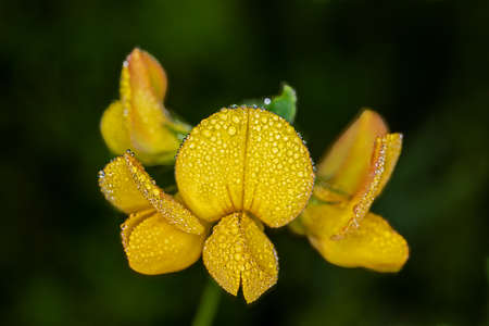 Blossoms of a lotus corniculatus horn clover in germanlanguage