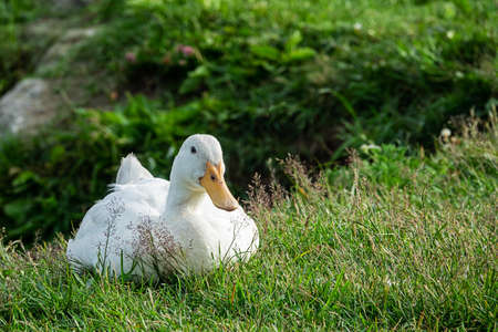 Cute white domestic goose resting in a meadow Stok Fotoğraf