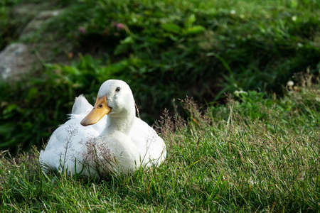 White domestic goose resting in a meadow