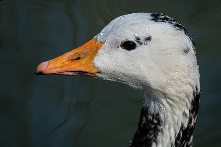 White duck goose with black spots covered with drops of water