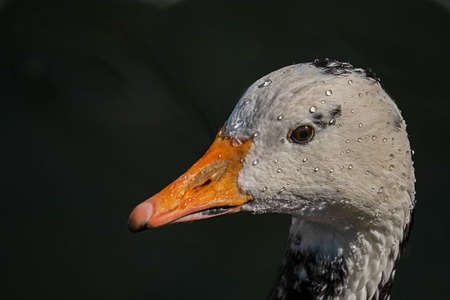 white duck goose with black spots wetted with drops of water unknown species to me Stok Fotoğraf