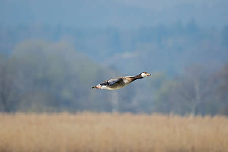 White-cheeked goose in flight, isolated against blurred background, Bavaria, Germany, Ammersee