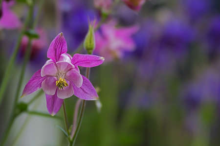 Delicate purple blossom of a columbine blurred background Stok Fotoğraf