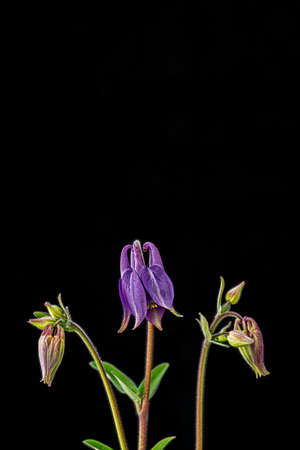 Lilac blossoms of columbines in front of black background