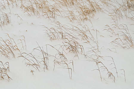 Texture background snowy meadow with dried grasses