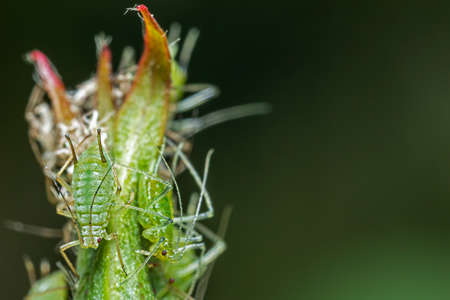 Infestation of aphid parasite on garden plant