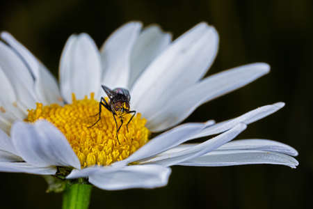 Fly covered with pollen on white daisy Stok Fotoğraf