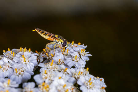 Side view of a hoverfly on white flower Stok Fotoğraf