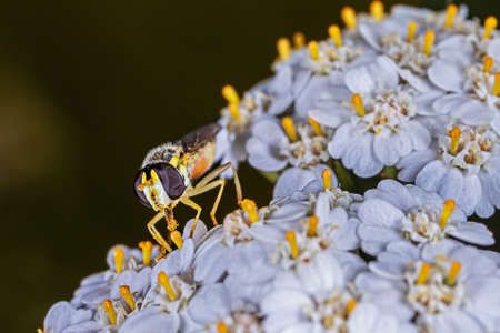 Extreme close-up of a hoverfly on a white flower Stok Fotoğraf