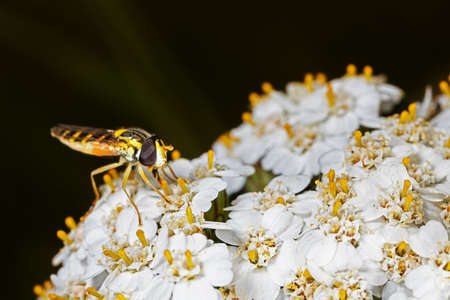 Hoverfly perching on white flower