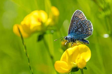 Butterfly common blue on lotus corniculatus Zdjęcie Seryjne