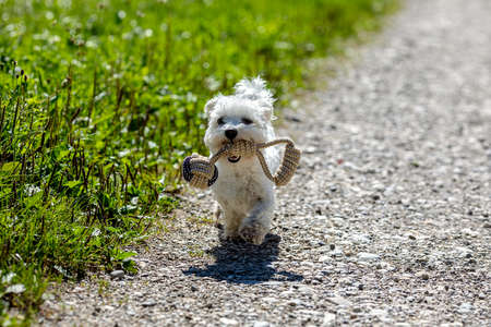 Very small Maltese dog running along the street