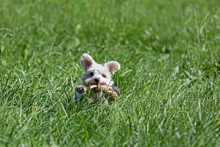 Little Maltese dog playing in the fields