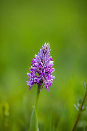 Blossom of a broad leaved marsh orchid