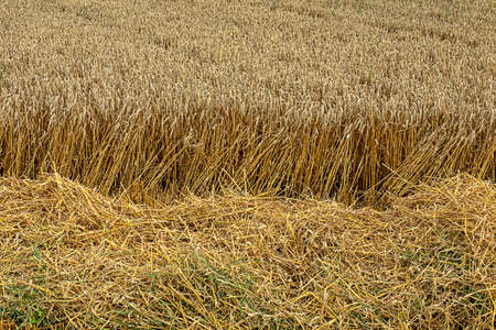 Wheat field ready for the harvest