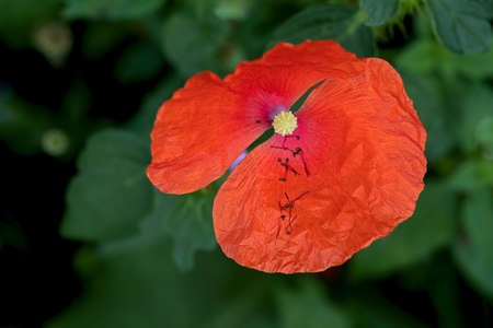 Top view on a opened poppy flower, stamens laying in a petal