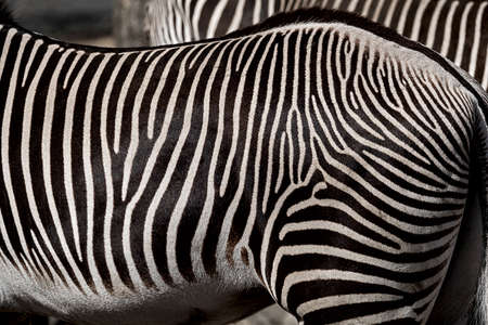 Belly and rump of a beautiful striped zebra Banque d'images