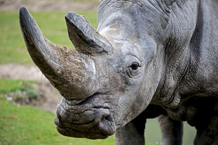 Portrait of a rhinoceros colossus with two big horns