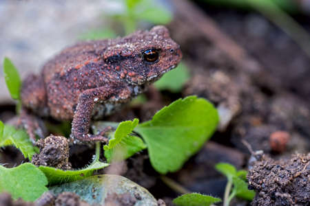 Little common toad in my garden