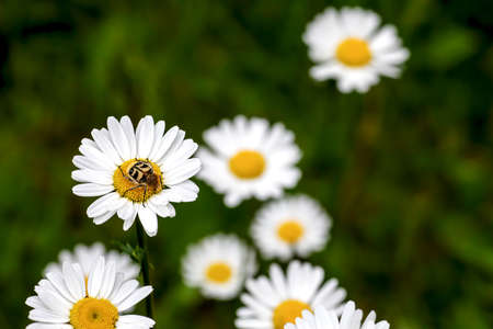 Trichius fasciatus is a beetle species. Scarabaeidae, perching on a blossom of a daisy Фото со стока - 134895161