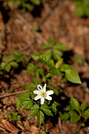 single wood anemone, windflower with a fly,