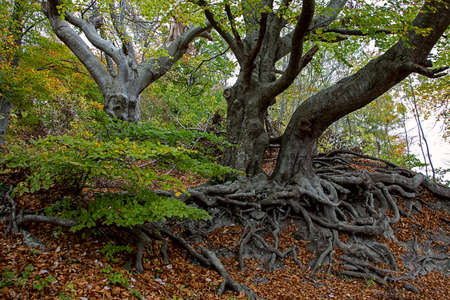 beech trees with impressive exposed roots