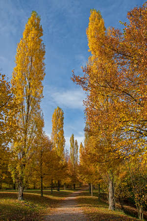 Poplars avenue in beautiful autumn colors Stockfoto