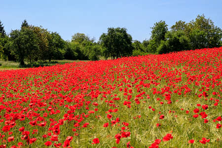 Colorful poppy field with green trees in the background