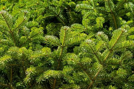 Full frame illustration of fir branches Reklamní fotografie