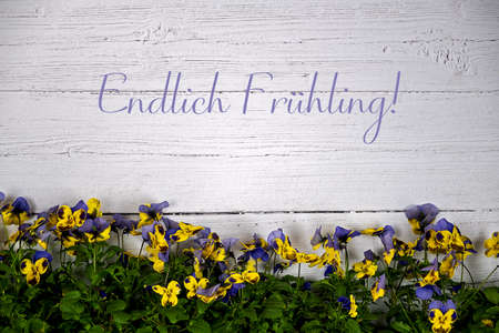 Background with white wooden wall in the lower third colored horned violets and text in german language Endlich Fruehling translation finally spring