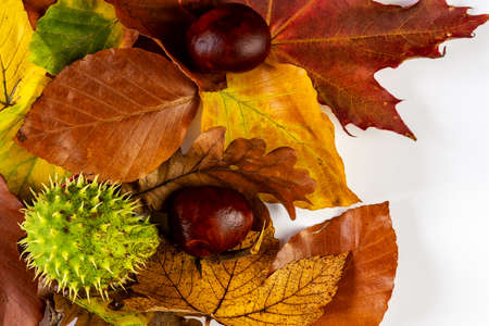 colorful leaves on bright background with two chestnuts without a shell and one with a green closed shell