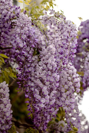 purple and white colored inflorescences of a wisteria