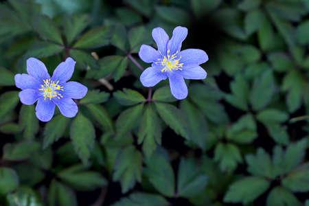 Windflowers, light blue anemones Stockfoto