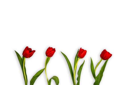 Flowers of red tulips in the lower part of a white background all turned to the right Stock Photo