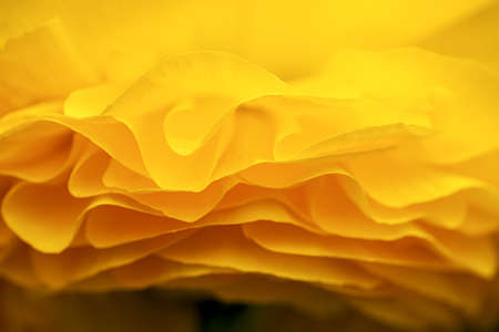 Side view of the petals of a yellow ranunculus