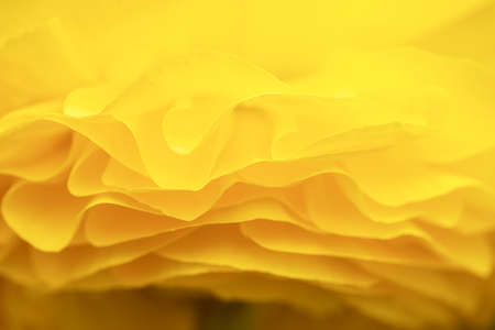Side view of the petals of a yellow ranunculus Stockfoto