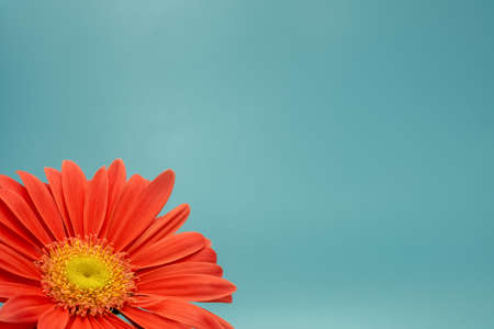 three-quarter view of a salmon-colored gerbera against a turquoise background with plenty of space for text