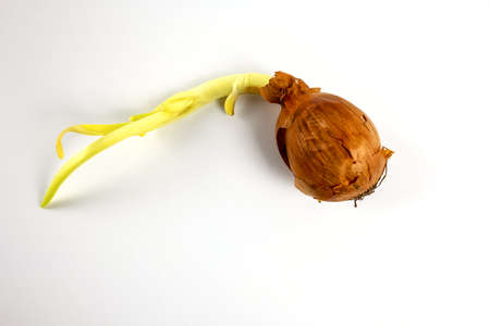 Sprouted onion with brown peel isolated on white background