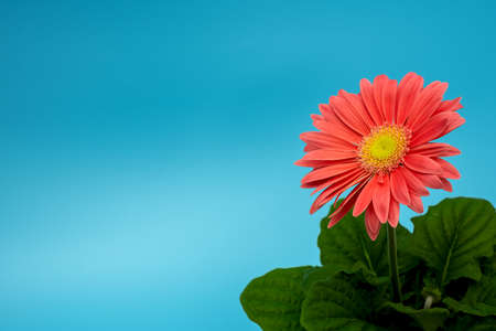 a salmon colored gerbera plant in the lower right corner of a turqouise background Stockfoto