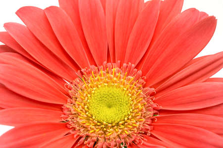 close up of the middle of a blossom of a gerbera, Asteraceae, daisy family