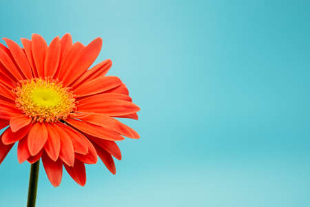 salmon colored gerbera flower isolated on turqouise background