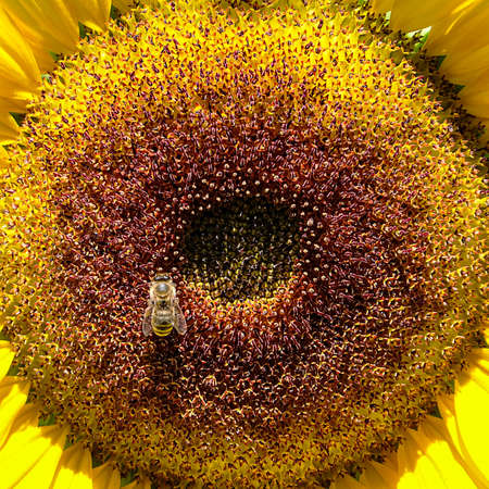 Helianthus annuus, Sunflower in bloom with bee looking for nectar Stockfoto