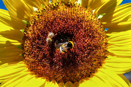 close up of the middle of a sunflower, a bee and a bumblebee searching for nectar
